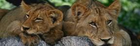 ph_lions